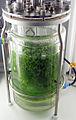 Sphagnum palustre in Bioreactor.jpg