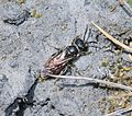 Sphecodes monilicornis - Flickr - S. Rae (1).jpg
