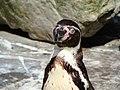 Spheniscus humboldti -Zoo Antwerpen, Belgium -upper body-8 (1).jpg