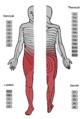 Spinalanaesthesie - Dermatome.png