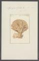 Spongia lyrata - - Print - Iconographia Zoologica - Special Collections University of Amsterdam - UBAINV0274 112 02 0020.tif
