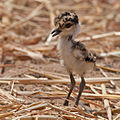 Spur-winged lapwing chick.jpg
