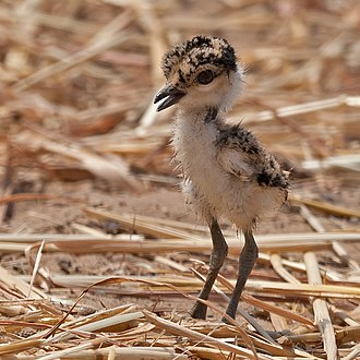 Spur-winged lapwing - Image: Spur winged lapwing chick