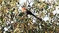 Squirrel Cuckoo Gua (Piaya cayana) (5783824264).jpg