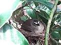 Sri Lankan Bush warbler endemic unusual habitat.jpg