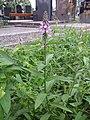 Stachys palustris sl11.jpg