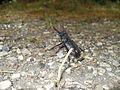 Stag beetle - panoramio.jpg