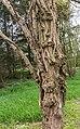 Stam van een dode Robinia, (valse Acacia) 02.jpg