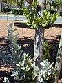 Starr-010330-0599-Conocarpus erectus-old leaves below new leaves above-Kahului-Maui (24164355089).jpg