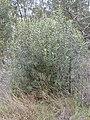 Starr-010423-0037-Olea europaea subsp cuspidata-small shrub-Kula-Maui (24424091802).jpg