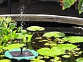 Starr-090609-0355-Nymphaea sp-habit in water garden-Haiku-Maui (24336355893).jpg