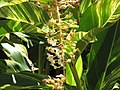 Starr-090714-2703-Alpinia zerumbet-flowering and variegated habit-Napili-Maui (24943289596).jpg