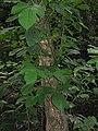 Starr-090714-2825-Sandoricum koetjape-habit-Honokahau Valley-Maui (24674298450).jpg