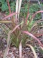 Starr-110307-2143-Phormium tenax-habit-Kula Botanical Garden-Maui (24450822153).jpg