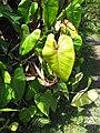 Starr-110330-4116-Philodendron sp-leaves-Garden of Eden Keanae-Maui (24987947491).jpg