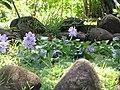 Starr-110330-4185-Eichhornia crassipes-floweirng habit in water feature-Garden of Eden Keanae-Maui (24963211452).jpg
