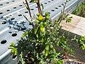 Starr-120329-9223-Senecio vulgaris-flowers-Near Stone building HNP-Maui (24511411493).jpg
