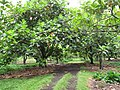 Starr-120606-7001-Artocarpus altilis-grove-Kahanu Gardens Hana-Maui (25144659715).jpg