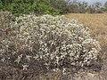 Starr-130422-4267-Encelia farinosa-habit-Kahului-Maui (25210439055).jpg