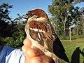 Starr-130601-4550-Solanum lycopersicum-habitat with House Sparrow in hand-Hawea Pl Olinda-Maui (24580562184).jpg