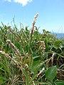 Starr-170328-0802-Stenotaphrum secundatum-seedheads-Waihee Coastal Preserve-Maui (33298267943).jpg