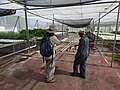 Starr-170627-0203-Ipomoea aquatica-with Kim and Thai Worker Hin-Hydroponics Greenhouse Sand Island-Midway Atoll (35621847194).jpg