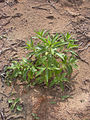 Starr 040123-0025 Myoporum sandwicense.jpg