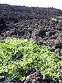 Starr 040410-0098 Psydrax odorata.jpg