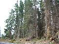 Starr 041221-1954 Cupressus macrocarpa.jpg
