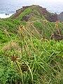 Starr 050405-5723 Cyperus phleoides.jpg