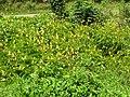 Starr 060306-6652 Senna alata.jpg