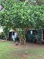 Starr 061105-1378 Citrus aurantiifolia.jpg
