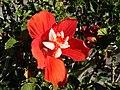 Starr 061223-2685 Hibiscus rosa-sinensis.jpg