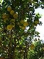Starr 061231-3080 Citrus limon.jpg