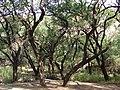 Starr 070206-4122 Prosopis pallida.jpg