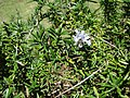 Starr 070402-6275 Rosmarinus officinalis.jpg