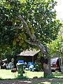 Starr 070403-6453 Artocarpus heterophyllus.jpg