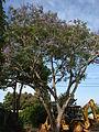Starr 080417-4086 Jacaranda mimosifolia.jpg