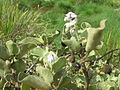 Starr 080605-9245 Solanum nelsonii.jpg