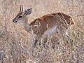 Steenbok (44701693732).jpg