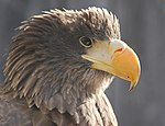 Steller's Sea Eagle Haliaeetus pelagicus Head Closeup 2600px.jpg
