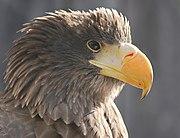 Голова молодого белоплечего орлана