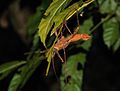 Stick insect spotted during the night trekking - Bako National Park - Sarawak - Borneo - Malaysia - panoramio.jpg
