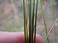 Stipa lettermanii (9374063284).jpg