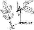 Stipule (PSF).png