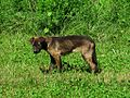 Stray dog Frayser Memphis TN 2013-05-12 007.jpg