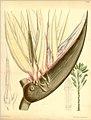 Strelitzia nicolai00.jpg