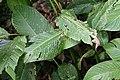 Strelitzia reginae 9zz.jpg