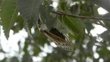 File:Stridulatory-Sound-Production-and-Its-Function-in-Females-of-the-Cicada-Subpsaltria-yangi-pone.0118667.s009.ogv