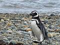 Strolling Penguin (8141301121).jpg